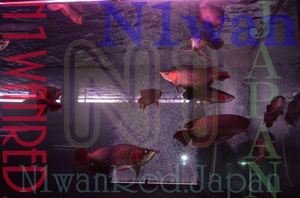N1wanRed セール