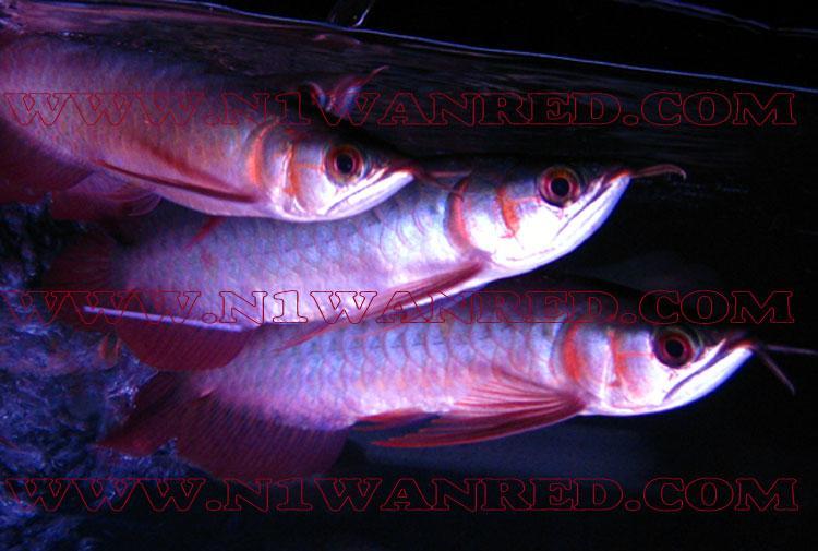 N1wanRed Japan アロワナ アロワナ INDONESIAN RED 1154