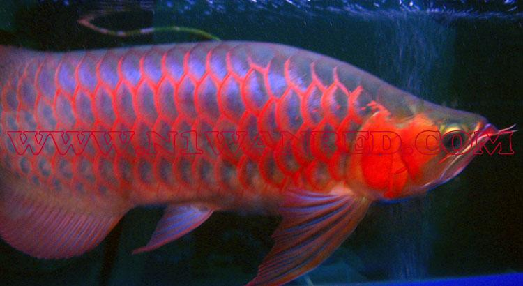 N1wanRed Japan アロワナ アロワナ INDO RED 1171