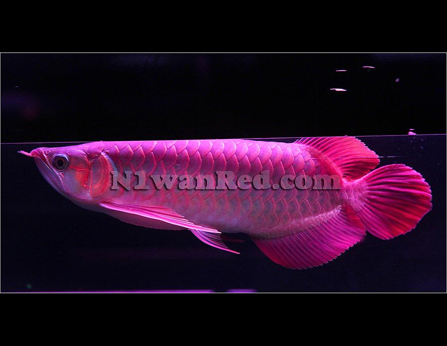 N1wanRed Japan アロワナ アロワナ N1wanRed 165