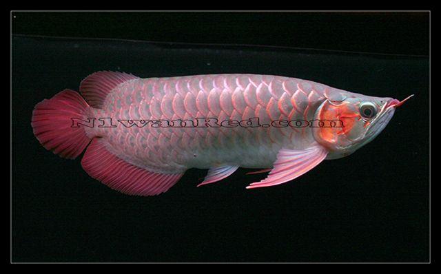 N1wanRed Japan アロワナ アロワナ N1wanRed 2219