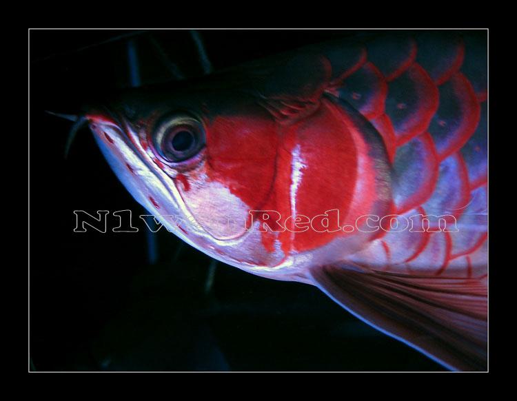 N1wanRed Japan アロワナ アロワナ N1wanRed 2091