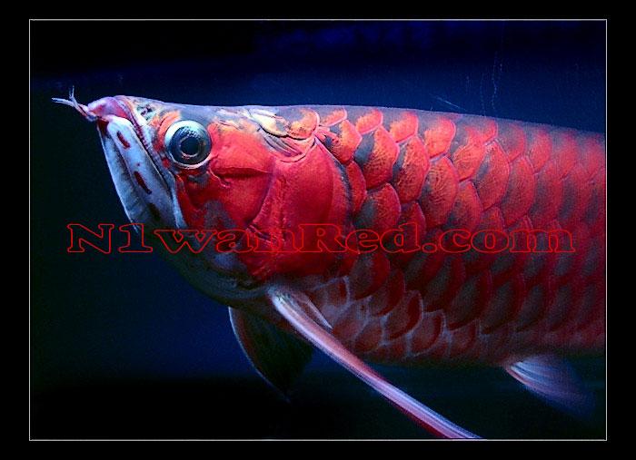 N1wanRed Japan アロワナ アロワナ N1wanRed_2146